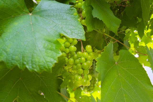 wine_grape.jpg